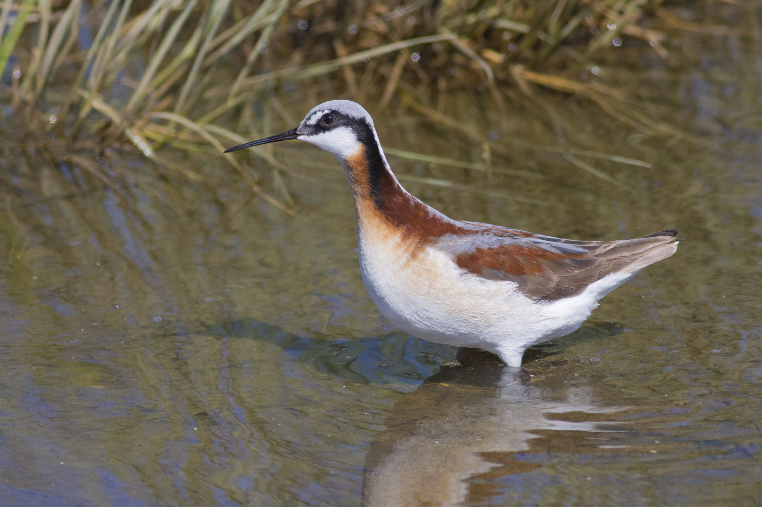 Wilson's Phalarope photo by Michael Todd