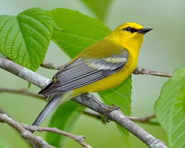Blue-winged-Warbler by Dave Hawkins