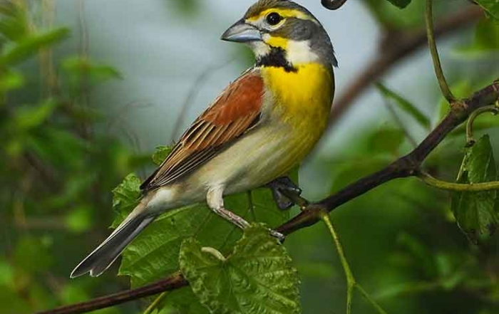 Dickcissel by Dave Hawkins