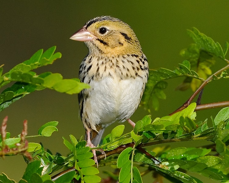 Henslow's Sparrow, Photo by Dave Hawkins