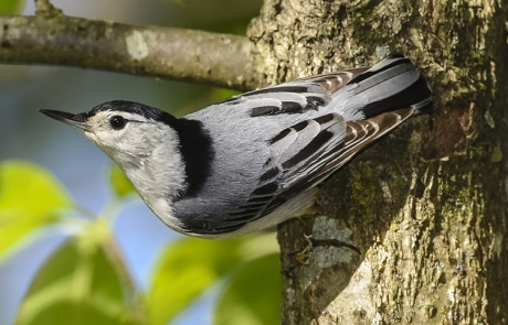 White-breasted Nuthatch by Dave Hawkins