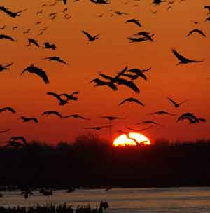 Sandhill Cranes at Sunset by Cynthia Routledge