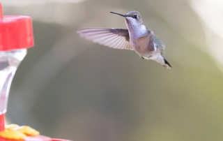 Black-chinned Hummingbird Mike Todd