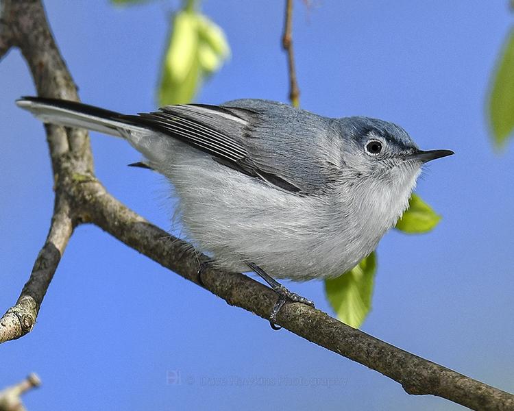 Blue-Gray-Gnatchatcher-by-Dave-Hawkins