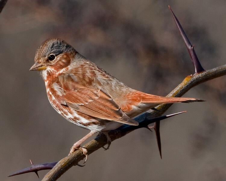 Fox Sparrow by Dave Hawkins
