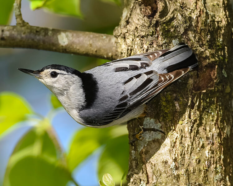 White-breasted Nuthatch, Photo by Thomas Blevins