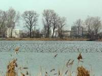 Ducks at Allen Fossil Plant Photo by John Walko