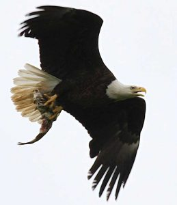 Bald Eagle Photo by Cyndi Routledge