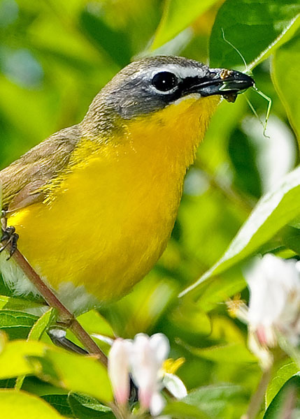Yellow-breasted Chat by Dave Hawkins