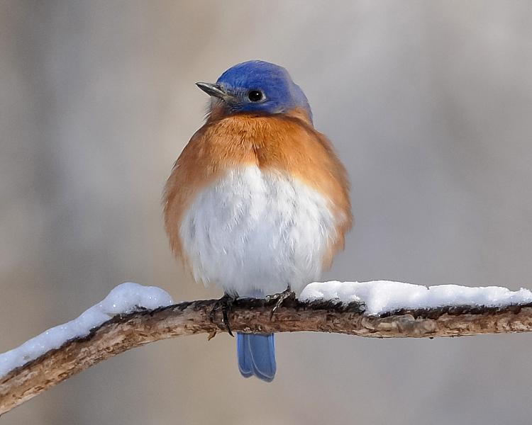 Eastern Bluebird by David Hawkins