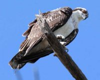 Osprey photo by Cyndi Routledge